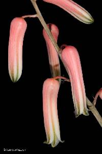 Image of Aloe jucunda
